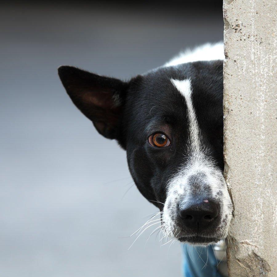 frightened dog peeping