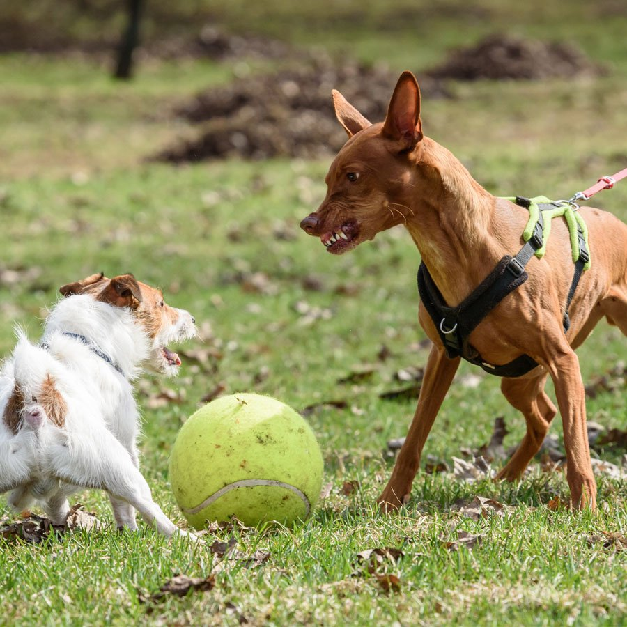 dogs fight over a ball
