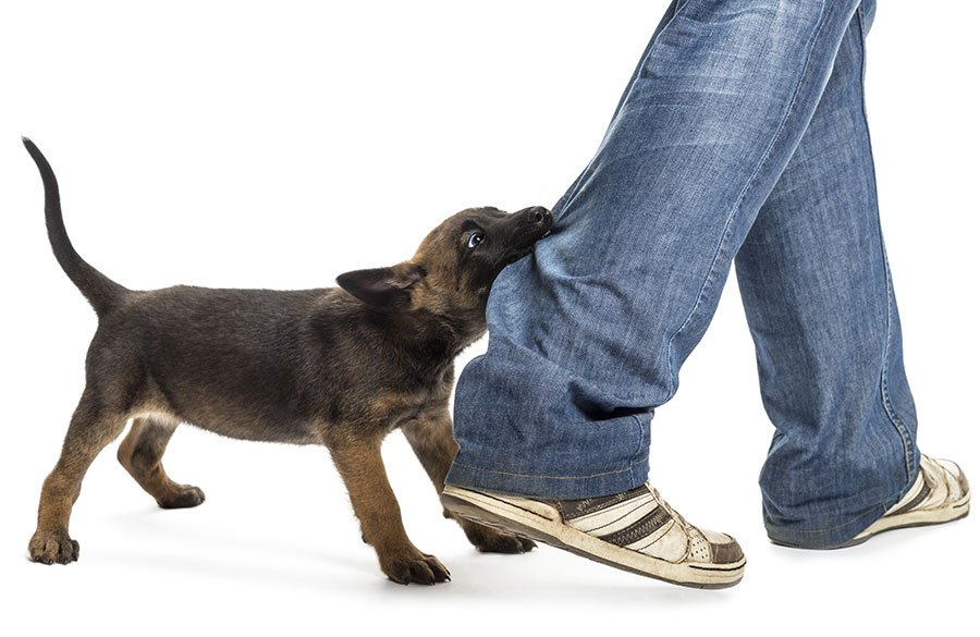 Puppy biting mans jeans